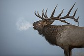 Wapiti bellowing - Jasper Canada ; Wapiti bramant - Jasper Canada