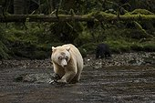 Kermode bear and young on bank - British Columbia Canada ; Ours Kermode et jeune sur la berge - Colombie Britannique