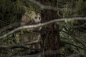 Kermode bear in a tree - British Columbia Canada ; Ours Kermode dans un arbre - Colombie Britannique Canada