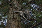 Racoon in a tree - British Columbia Canada ; Raton laveur dans un arbre - Colombie Britannique Canada