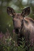 Portrait of young Moose - Alaska USA ;