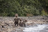 Young Grizzlys on the bank - Katmai Alaska USA