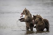 Young Grizzlys fishing in water - Katmai Alaska USA