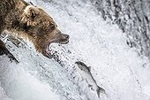 Grizzly catching Salmon in a waterfall - Katmai Alaska USA