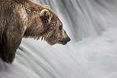Grizzly fishing Salmons in a waterfall - Katmai Alaska USA