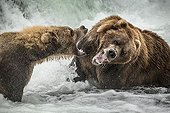 Grizzlys fighting in the foam of a waterfall - Katmai USA