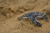 Young Leatherback Turtle on sand - French Guiana