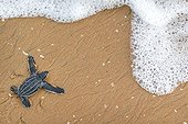 Young Leatherback turtle crawling towards the sea - French Guiana