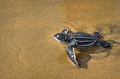 Young Leatherback turtle on wet sand - French Guiana