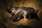 Young Leatherback turtle in sand - French Guiana