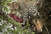 Leopard and its prey in a tree - Sabi Sand South Africa