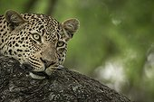 Portrait of Leopard - Sabi Sand South Africa