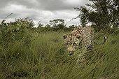 Leopard walking in savannah - Sabi Sand South Africa