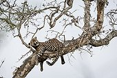 Leopard lying in a tree - Kruger South Africa