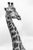 Portrait of Giraffe - Kruger South Africa