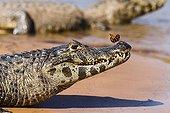 Portrait de Caïman jacare et Papillon - Pantanal Brésil