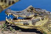 Portrait de Caïman jacare sur la berge - Pantanal Brésil