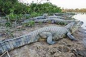 Yacares on bank - Pantanal Brazil