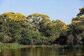 Golden trumpet tree in blossom - Pantanal Brazil