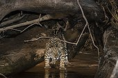 Jaguar on bank at night - Pantanal Brazil
