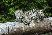 Jaguar lying on a trunk - Pantanal Brazil