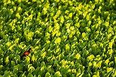 Wattled Jacana in water hyacinths - Pantanal Brazil