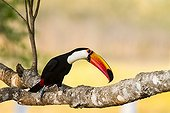 Toco Toucan on a branch - Pantanal Brazil
