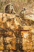 Yellow baboons sitting on a kopje - Tsavo East Kenya