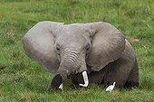 African Elephant in marsh - Amboseli Kenya