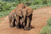 Young African Elephants on a track - Tsavo East Kenya