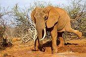 Eléphant d'Afrique prenant un bain de boue - Tsavo Est Kenya