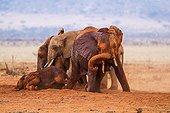 Eléphants d'Afrique prenant un bain de boue - Tsavo Est