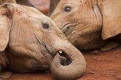 Jeunes Eléphants d'Afrique couvert de boue - Nairobi Kenya ; Orphelinat des éléphants Daphné Sheldrick. David Sheldrick Wildlife Trust
