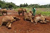 Garde et jeunes Eléphants d'Afrique prenant un bain de boue ; Orphelinat des éléphants Daphné Sheldrick. David Sheldrick Wildlife Trust