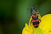 Checkered beetle on buttercup in Catalonia - Spain