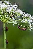 Shield bugs on umbellifera in Catalonia - Spain