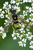 Wasp on umbellifera in Catalonia - Spain