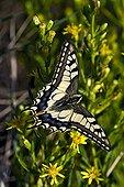 Old world swallowtail on ticky fleabane in Catalonia - Spain