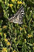 Old world swallowtail on ticky fleabane in Catalonia - Spain