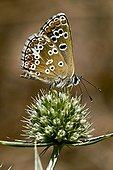 Butterfly on field eryngo flower in Catalonia - Spain