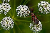 Res assassin bug on umbellifera in Catalonia - Spain