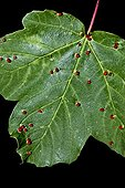 Call mite galls on Italian maple leaf in Catalonia - Spain