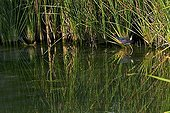 Purple swamphen among cattails in Catalonia - Spain