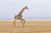 Masai Giraffe running on a dry lake - Amboseli Kenya