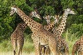 Males Masai giraffes fighting - Masai Mara Kenya