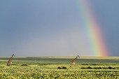 Masai giraffes and rainbow - Masai Mara Kenya