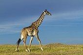 Masai Giraffe walking in savannah - Masai Mara Kenya