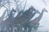 Rothschild giraffes in the mist - Nakuru Kenya
