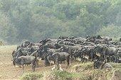 Gnous à barbe blanche sous la pluie - Masaï Mara Kenya