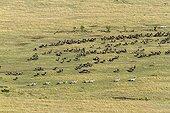 Migration de Gnous à barbe blanche  - Masaï Mara Kenya